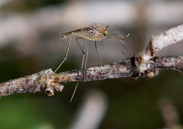 7 Natural Mosquito Repellants