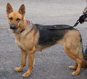 Karma - Muttley Crew Rescue for German Shepherd Dogs