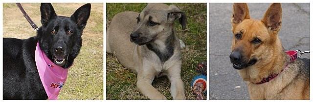 German Shepherds for adoption