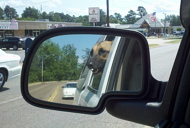 Dogs hanging head out of window