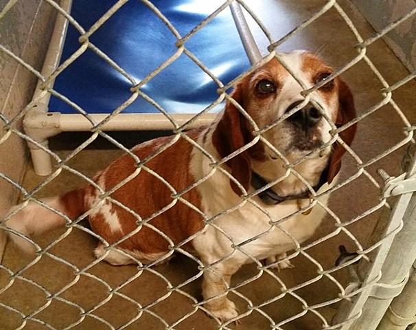 Adoption Floor Dogs Beagle