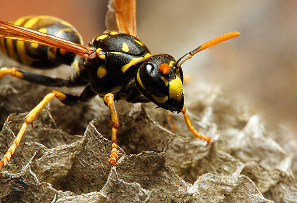 The Common wasps ( Vespula vulgaris ) on the vespiary.